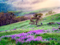 Prairie with lupines, fog and oak tree. Redwood National Park, California