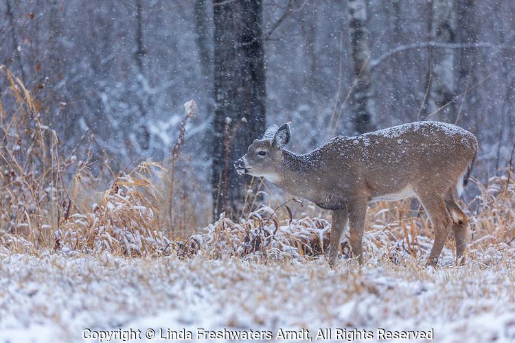 Snow falling on a buck fawn performing flehmen.