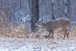 Snow falling on a buck fawn performing flehmen.