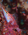 longnose hawkfish: Oxycirrhites typus amongst soft coral at a depth of 10 metres, Solomon Islands