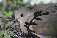 Mourning Dove sits on nest in a planter in a friends back patio.