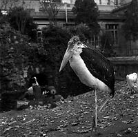 20 Novembre 1961, Vue d'un marabout dans son enclos du jardin des Plantes.