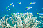 Rainbow Reef, Somosomo Strait, Fiji; a school of Blue and Yellow Fusilier (Caesio teres) fish swim above the coral reef