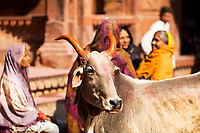 Sacred cow with horns painted for Holi, in front of devotee women, in Sri Radha Vallabh Lal temple, in Vrindavan, near Mathura Uttar Pradesh, India