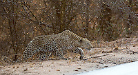 A leopard stalks kudu from across the road.