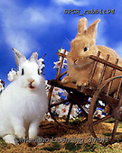 Xavier, ANIMALS, REALISTISCHE TIERE, ANIMALES REALISTICOS, photos+++++,SPCHRABBIT94,#a#, EVERYDAY ,rabbit,rabbits