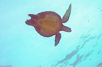 Sea Turtle in the Galaboagos