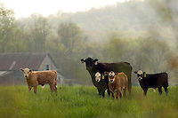 cows, cattle in a farm field feeding on the grass with mountains and hills behind in Arkansas