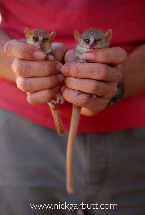 Madame Berthe's Mouse Lemur (Microcebus berthae) (world's smallest primate - around 25-30g) and Grey Mouse Lemur (Microcebus murinus) in the hands of research scientist. Kirindy Forest, western Madagascar. The