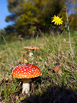 DEU, Deutschland, Bayern, Niederbayern, Naturpark Bayerischer Wald: Fliegenpilz (Amanita muscaria var. muscaria) | DEU, Germany, Bavaria, Lower Bavaria, Nature Park Bavarian Forest: Amanita muscaria, commonly known as the fly agaric or fly Amanita