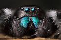 Regal Jumping Spider {Phidippus regius} male. Captive, originating from North America. website