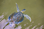 Galapagos Islands, Ecuador , hawksbill sea turtle (Eretmochelys imbricata)