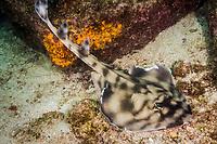 Banded Guitarfish - Zapteryx exasperata. Cabo Pulmo, Sea of Cortez, Baja, Pacific Ocean