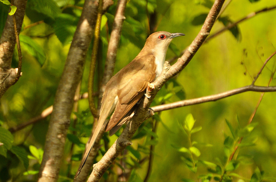 The Black-billed Cuckoo is fairly common yet rarely seen species, feeding mostly on caterpillars in dense thickets and undergrowth. This one and I bumped into one another while I was birding for spring warblers.
