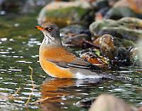 Rufous-backed robin bathing