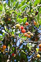 Westlicher Erdbeerbaum, Erdbeer-Baum, Früchte, Arbutus unedo, Strawberry Tree, Arbousier commun
