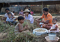 Villagers near Bagan harvesting peanuts