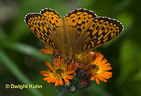 LE25-501z  Atlantis fritillary butterfly, Speyeria atlantis