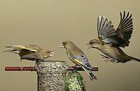 Grünfink, Grünling, streitend am Futtersilo, Vogelfütterung, Grün-Fink, Chloris chloris, Carduelis chloris, Greenfinch, Verdier d'Europe