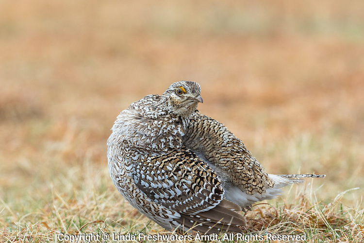 Sharp-tailed grouse standing on a lek in Namekagon Barrens.