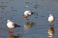 Paris: In the center of the town, just after the snow, three seagulls walking on ice with beautiful reflected images.