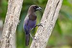 Purplish Jay (Cyanocorax cyanomelas). Araras Lodge, Mato Grosso, Northern Pantanal, Brazil.
