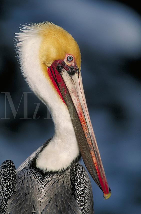 Brown Pelican, close-up of head. La Jolla California, La Jolla Coves.