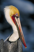 Brown Pelican, close-up of head. La Jolla California, La Jolla Coves.