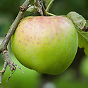Apple 'Landsberger Reinette', mid September.  German dessert apple from Landsberg, Brandenburg, mid 19th century. Once widely grown in northern Europe.