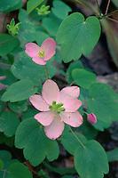 Rue-anemone (Anemonella thalictroides)<br />   near Little Missouri Falls<br /> Ouachita National Forest<br /> Ouachita Mountains,  Arkansas