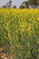Rajasthan, India.  Field of Mustard in Bloom.