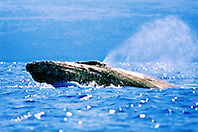 male humpback whale in competitive group,  .lunging in pursuit for female whale, .Megaptera novaeangliae, .Hawaii (Pacific).