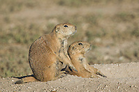 Black-tailed Prairie Dog, Cynomys ludovicianus, adults at entrance to burrow, Lubbock,Texas,USA