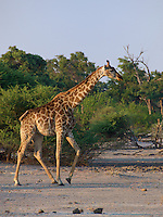 Giraffe on the move with Oxpeckers going along for the ride cleaning the ticks off of her neck.  Okavango Delta, Botswana Africa.