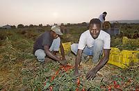 - Cerignola (Foggia), African immigrates working in the tomato fields<br /> <br /> - Cerignola (Foggia), immigrati africani al lavoro nei campi di pomodoro