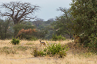 Tanzania. Tarangire National Park.  Jackal Looking for a Meal Contemplates Lion Resting in the Shade.
