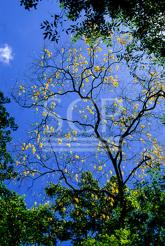 Amapa, Brazil. Tree with yellow flowers and no leaves against a blue sky.