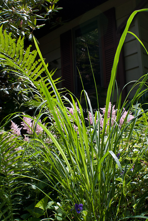 Lemongrass culinary plant herb, Cymbopogon citratus, often used in thai seasoning cooking, with Viola, astilbe, Matteuccia