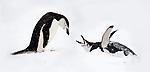 Chin-strap Penguin (Pygoscelis antarctica) displaying. Half-Moon Island, South Shetland Islands, Antarctica. (digitally stitched image)