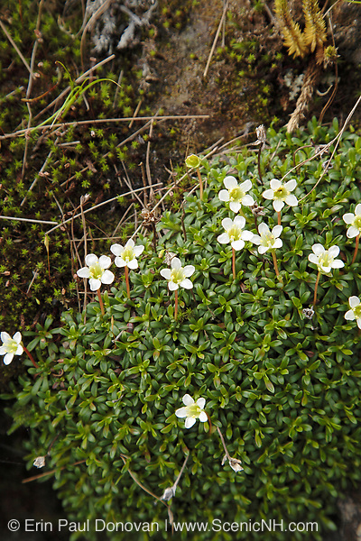 Diapensia - Diapensia lapponica - along the Appalachian Trail in the White Mountains, New Hampshire during the summer months. Found at higher elevations (alpine zone) and in exposed areas around rocky ledges.