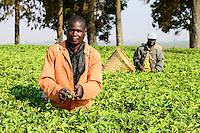 Malawi, Thyolo, Makandi Tea Estate, a fair trade tea plantation, farm worker pick tea leaves