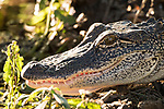 Damon, Texas; a 3 to 4 foot, juvenile alligator sunning itself in the late afternoon at the edge of the slough