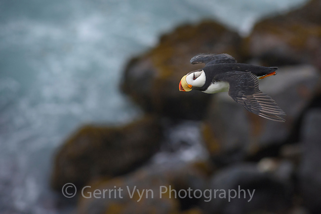 Horned Puffin (Horned Puffin). Pribilof Islands, Alaska. July.