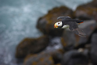 Horned Puffin (Horned Puffin). Pribilof Islands, Alaska. July.