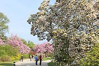 Belgique, Bruxelles, Laeken, le domaine royale du château de Laeken, magnolia et cerisiers du Japon en fleurs dans le parc // Belgique, Bruxelles, Laeken, the royal castle domain, the greenhouses of Laeken in spring. Flowering cherries and visitors.