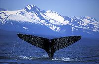 Humpback Whale (Megaptera novaeangliae).  Juneau, Southeast, Alaska.