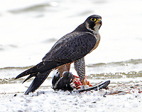 Adult peregrine falcon. Don't think of sharing my kill! But a great blue heron was standing and watching.