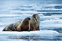 A female and calf Atlantic walrus spending some quality time hanging out on an icefloe near Beverlysundet,  Nordaustlandet, Svalbard.