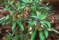 Helleborus torquatus 'Dido' hellebore species
