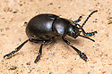 Bloody-nosed Beetle (Timarcha tenebricosa) on cliff-top path. Dorset, UK. May.